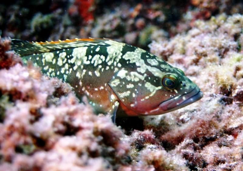 Calpe duiken grouper 800x600