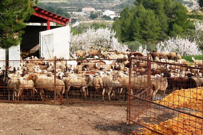 Schapen-met-herder